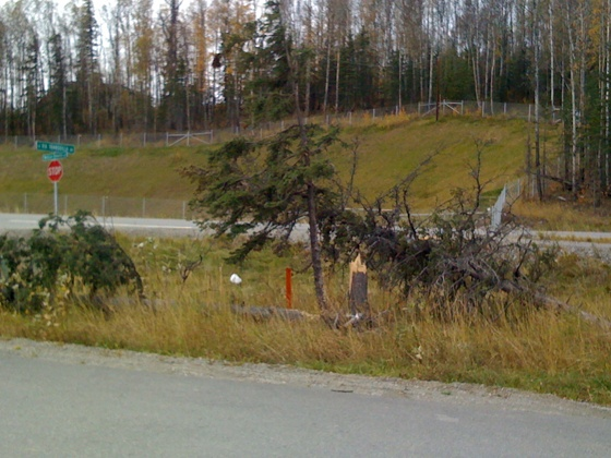 Trees knocked down by wind/storm damage in Wasilla, Alaska, September 24, 2010