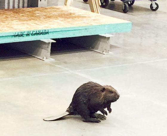 A beaver walks into a hardware store in Fairbanks, Alaska, and heads to the plum