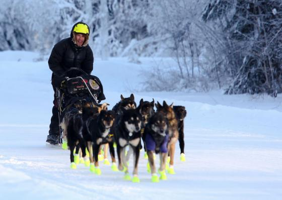 Sled dogs running in the 2015 Yukon Quest