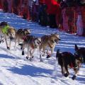 2011 Iditarod Race - Sled dogs, Team 4
