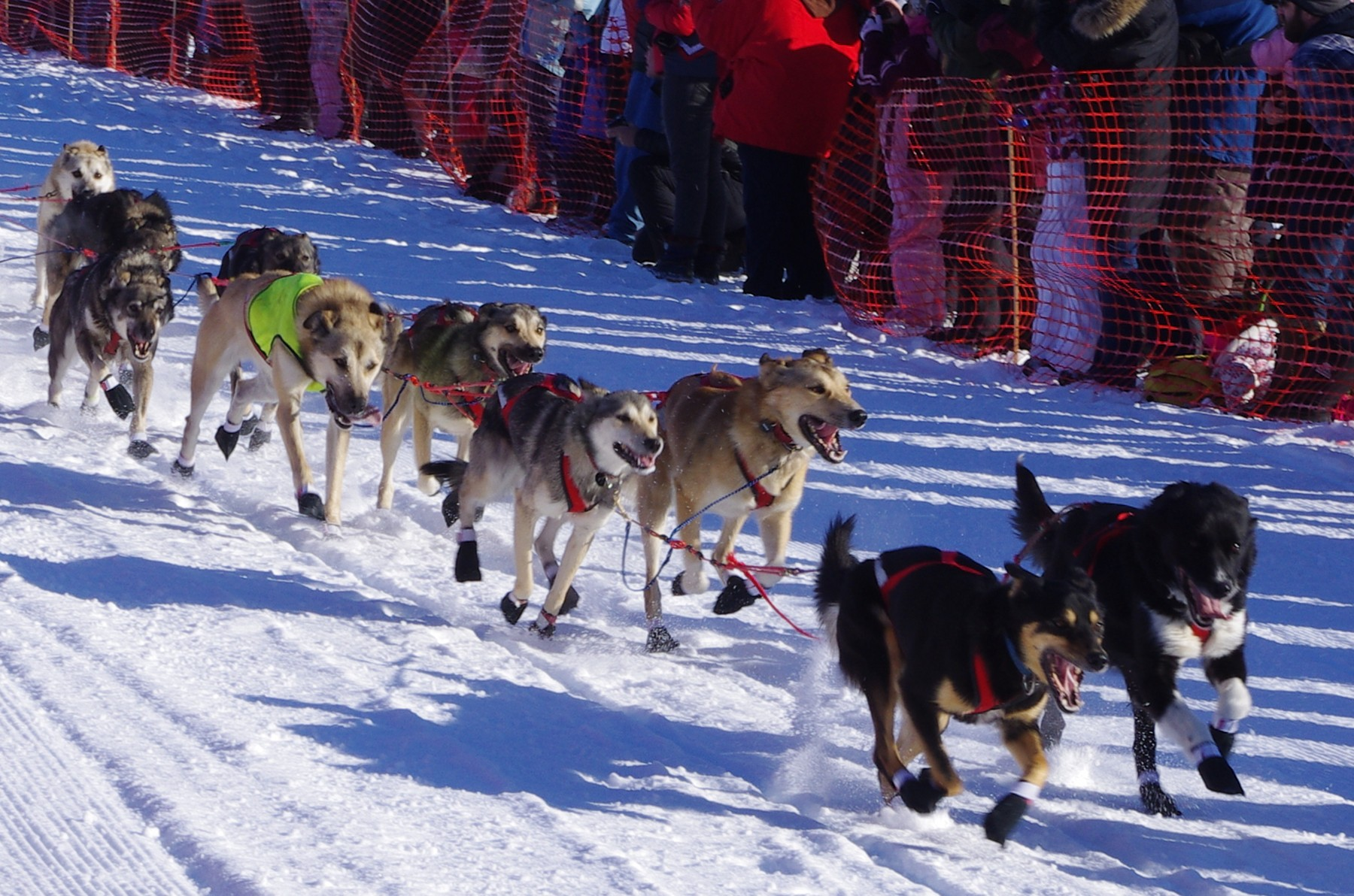 2011 Iditarod Race - Sled dogs, Team 4.