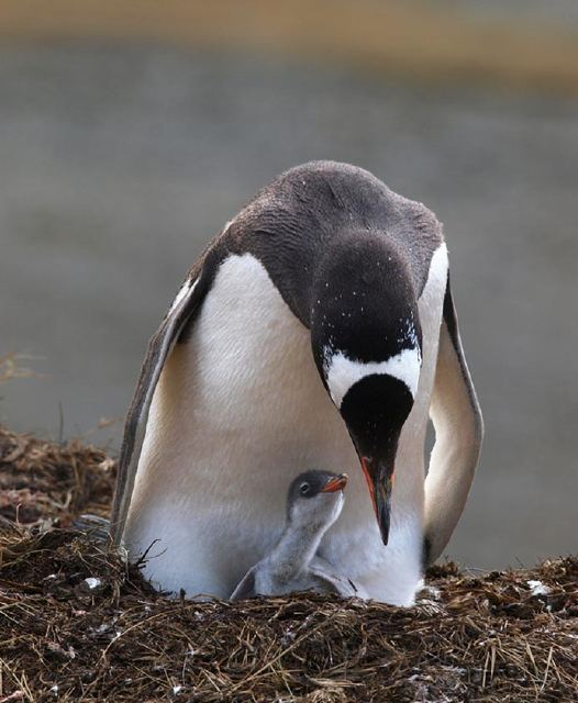 A Gentoo penguin and chick.