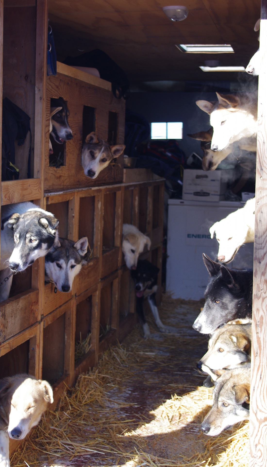 Sled dogs in a truck, from the Iditarod race, 2011.