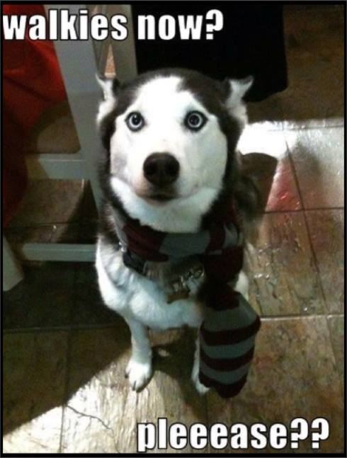 Walkies now? (Siberian husky funny).