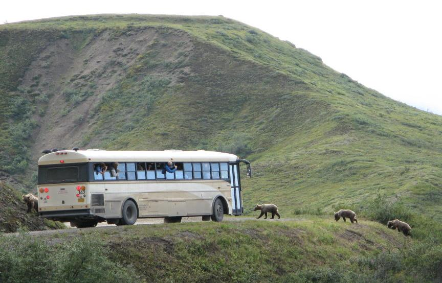 Bears crossing in front of a tour bus in Denali