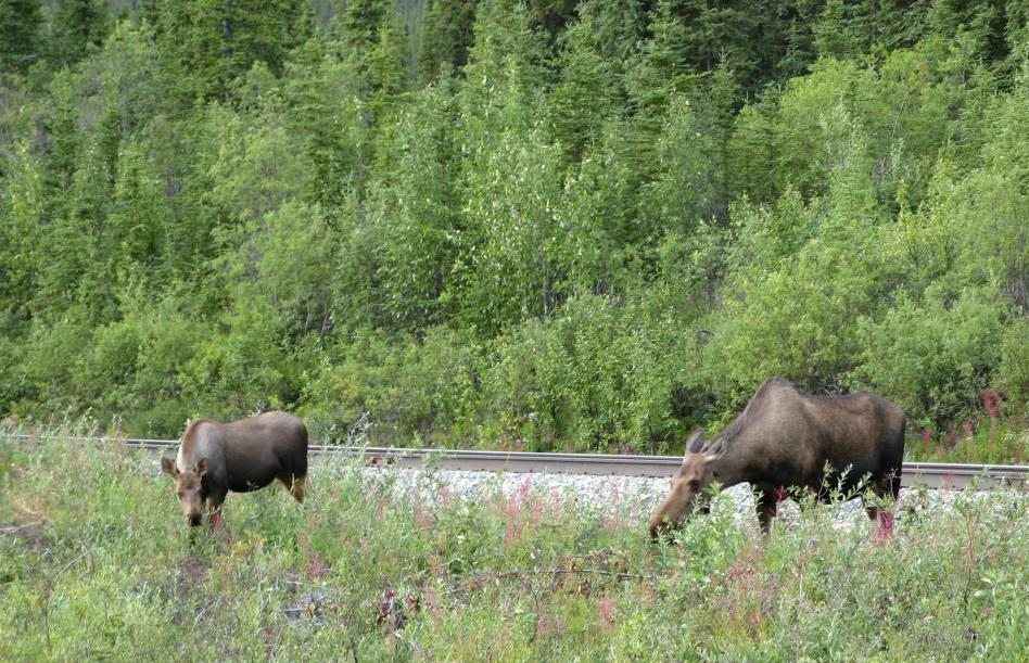 Moose eating breakfast by the railroad tracks just south of Denali National Park