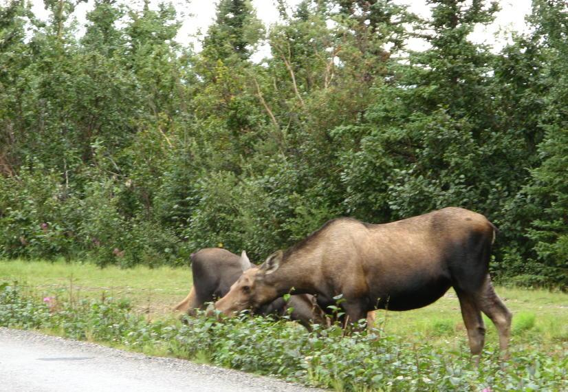 Momma moose eating at the side of the road
