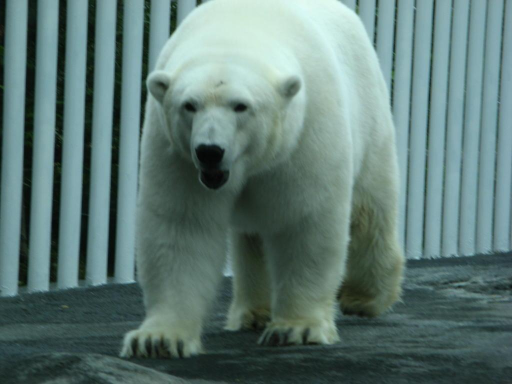 Polar bear at the Anchorage Zoo