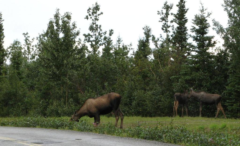 Three moose feeding in Healy, Alaska