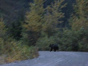 Momma bear and cubs walking back to town